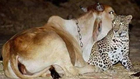 صور وثقت علاقة حب عمرها 19 عاماً بين نمر وبقرة: أصل القصة الغريبة!